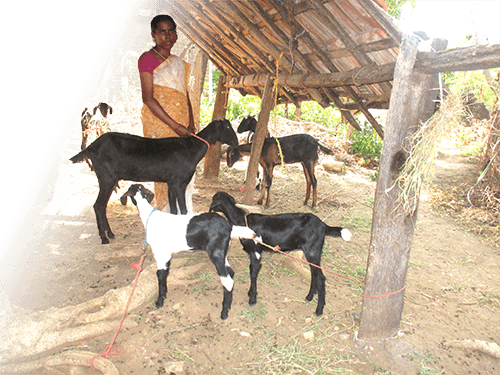 revathi: the goat farmer - India Gospel League